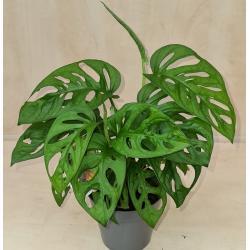 Monstera orbifolia (Monkey gatenplant)