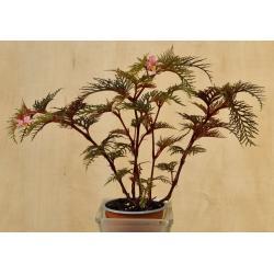 Begonia bipinatifida