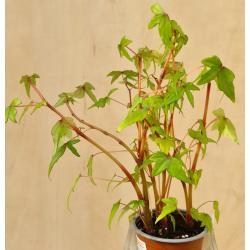 Begonia tripartia