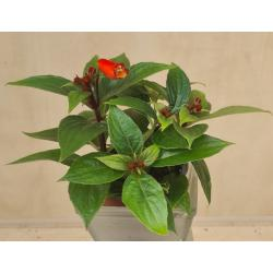 Gloxinia speciosum