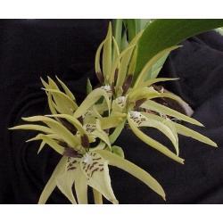 Brassia kohlerorum