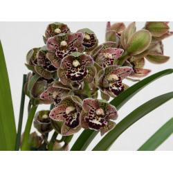 Cymbidium Magic Vogel