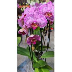 Phalaenopsis Cascade 2 tak paars gestreept